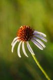 Blütenstaub auf purpurroter Kegelblume Stockfotos