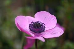 Blütenstaub beladener geernteter Schuss der purpurroten Blume stockbild