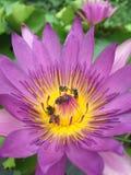 Blütenstaub-Bienen Lotus Stockbilder