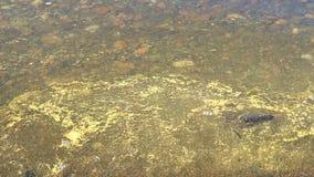 Blütenstaub, der auf das Wasser von See schwimmt stock video
