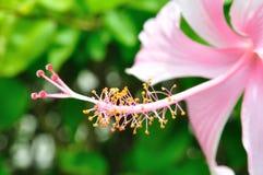 Blütenstaub der rosafarbenen Blume Stockfotos