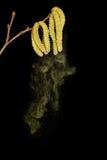 Blütenstaub, der von der Birke fällt Stockbild