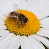 Blütenstaub-Gelage Lizenzfreies Stockfoto