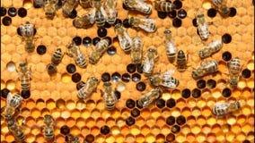 Blütenstaub, Larven, Kokons, Bienen stock video