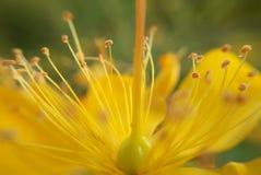 Blütenstaub mit Tautropfen Lizenzfreie Stockfotos