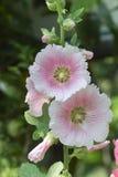 Blütenstaub, Stockrose im Garten Stockfotos