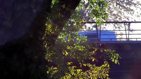 Blütenstaub und Baum verlässt im Wind an der Dämmerung und am Verkehr stock footage