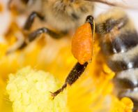 Blütenstaubhonigbiene auf der Tatze das flower lizenzfreie stockfotos