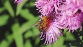 Blütenstaubkörbe auf den Beinen einer Biene stock video