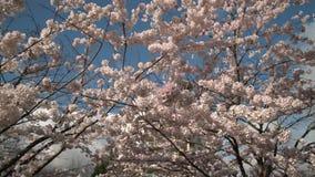 Blütentransportwagen des blauen Himmels Kirschschoss 4K UHD stock video footage