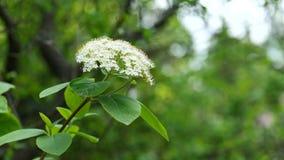 Blütentraube der weißen Blütentraube und Blätter der schwarzen älteren Anlage während der Frühlings-Saison, 4K stock footage