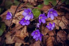Blütenveilchenblume Stockfotografie