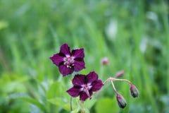 Blütenveilchenblume Lizenzfreies Stockfoto