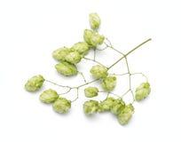 Blütenzapfen des Hopfens stockbilder