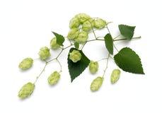 Blütenzapfen des Hopfens lizenzfreie stockfotografie