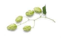 Blütenzapfen des Hopfens stockfotos