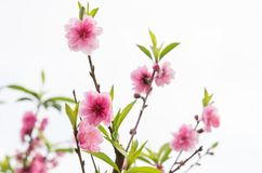 Blütezeit des Kirschblütenbaums stockbild