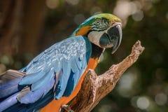 Blå ara Itatiba Brasilien Arkivbild