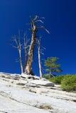 blå gammal rockskytree Arkivbild