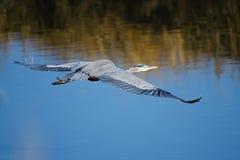 blå stor heron Royaltyfria Foton