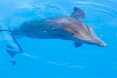 blått delfinsimningvatten arkivbild