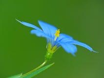 blå blomma Fotografering för Bildbyråer
