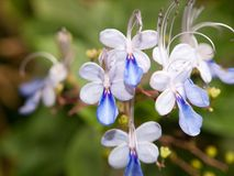 bl? blomma f?r klocka royaltyfri fotografi