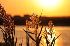 Blé dans le lever de soleil Photos stock