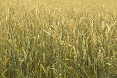 Bl? de maturation sur le champ ?pillets de bl? R?colte de grain en ?t? images libres de droits