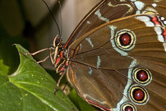 blå fjärilsmorpho Arkivfoto