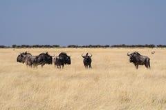 Bl? gnu i den Etosha nationalparken, Namibia arkivfoto