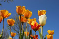Bl?hende bunte Tulpen lizenzfreies stockfoto