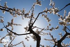 Bl?hende wei?e Kirschbl?te Makrofoto von sch?nen Blumen und Zweige des Kirschholzes stockbilder