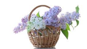 Bl?hender Blumenstrau? des Fr?hlinges der Flieder lokalisiert auf Wei? stock footage