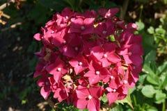 Bl?hender bunter Rhododendron des sch?nen empfindlichen Fr?hlinges in der Nahaufnahme im Garten stockbilder