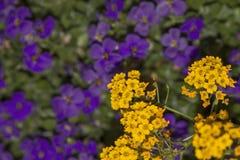 Bl?hender gelber Alyssum und purpurrotes aubrieta verwischen lizenzfreie stockfotografie