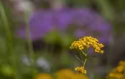 Bl?hender gelber Alyssum und purpurrotes aubrieta verwischen stockfoto