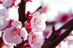 Bl?hender japanischer Kirschbaum Bl?hen wei?e, rosa Kirschbl?te-Blumen mit hellen wei?en Blumen im Hintergrund stockfotografie