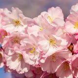 Bl?hender Kirschbaum im Fr?hjahr Sch?ne Fr?hlingsrosablumen in einem Park lizenzfreies stockbild