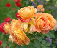 Bl?hendes orange Englisch stieg in den Garten an einem sonnigen Tag Austin Rose ?Dame von Shalott ? stockbild