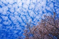 Bl? himmel som ?r full av k?rsb?rsr?da blomningar royaltyfria foton