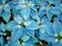 blå julstjärna Arkivfoto