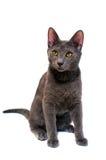 blå kattungeryss Arkivfoton