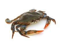 Blå krabba Royaltyfria Foton