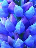 blå lupin Royaltyfria Foton