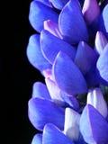 blå lupin Royaltyfria Bilder