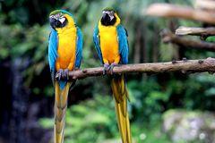 bl? macawpapegojayellow royaltyfria bilder