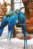 bl?a papegojor arkivbild