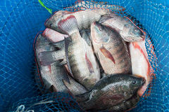 Blå plast- hink mycket av den rå nya sötvattensfisken, Tilapia a Royaltyfri Fotografi