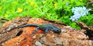 Blå-prickig Salamander (Ambystomalaterale) Arkivfoto